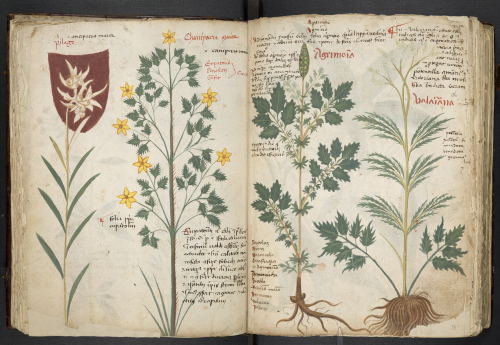 medieval manuscript with pictures of brightly coloured plants and annotations.