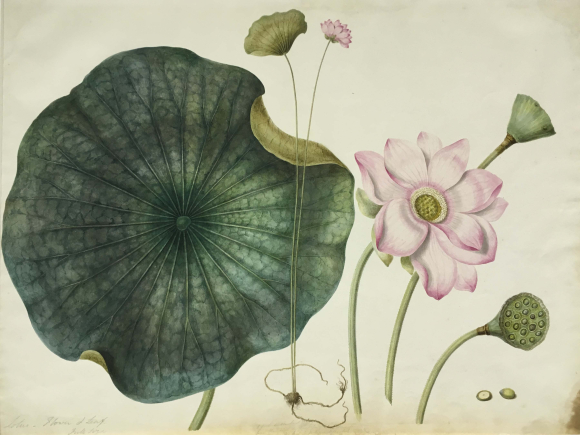 A pink lotus (Nelumbo nucifera/family Nelumbanaceae).  By the 'Gilbert artist', 1822-28.  BL Add.Or.3951