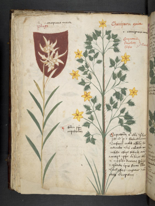 Manuscript page showing pictures of flowers