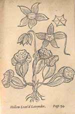 An illustration of flora from New England's Rarities Discovered by John Josselyn