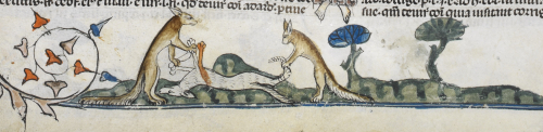 A wolf being skinned by two foxes