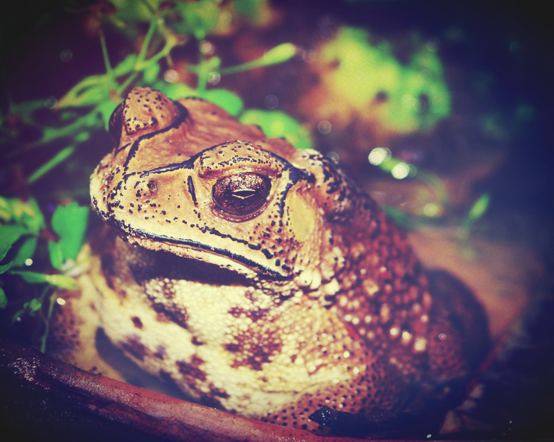 Giant Marine Toad