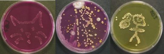 A picture of petri dishes with bacteria forming different shapes
