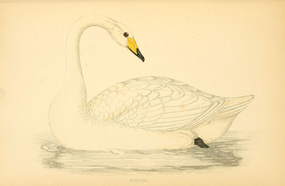 19th century illustration of a Whooper Swan