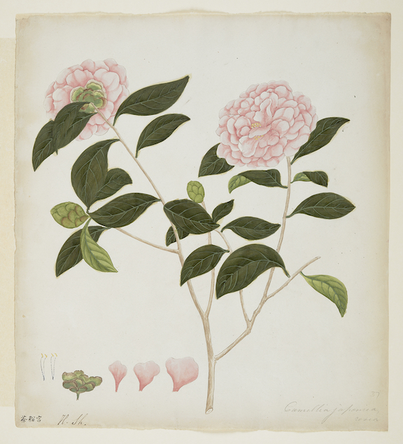 Illustration of a camellia