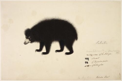 Sloth bear NHD 3/489