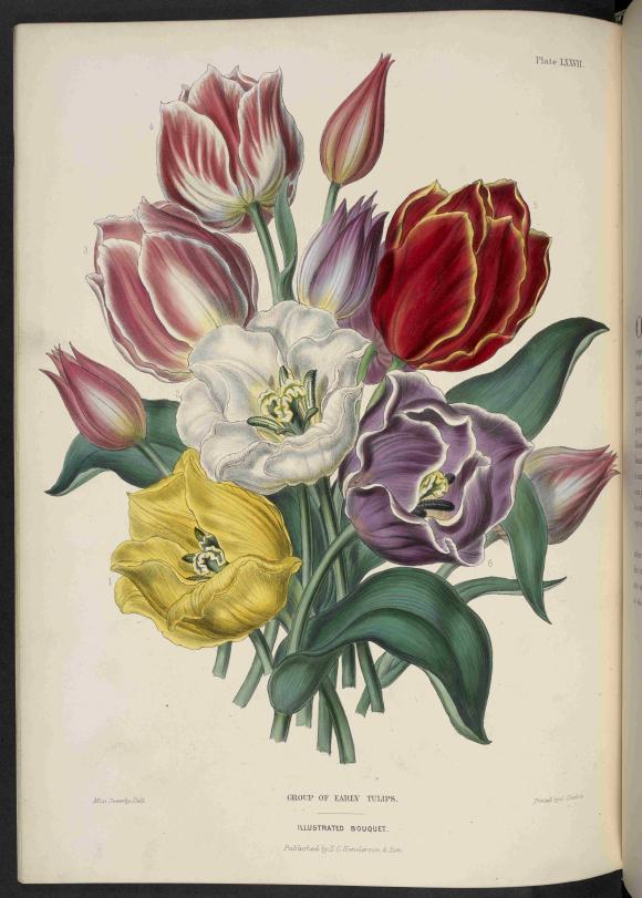 Tulips T00048-12