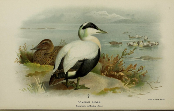 illustration of the Common Eider Duck