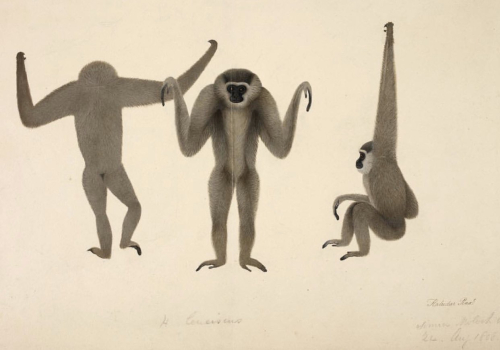 Illustration of a moloch gibbon in three ways