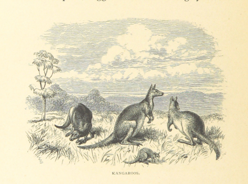 Illustration of four kangaroos grazing