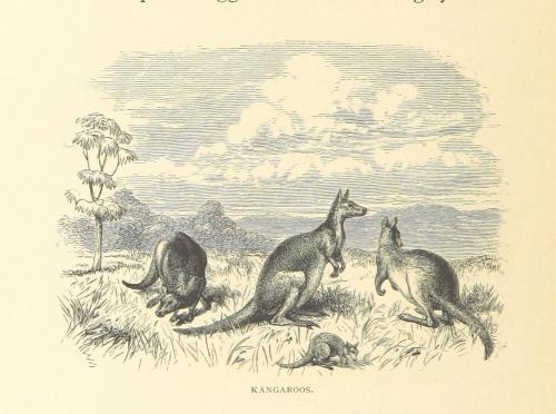 Illustration of four kangaroos grazing