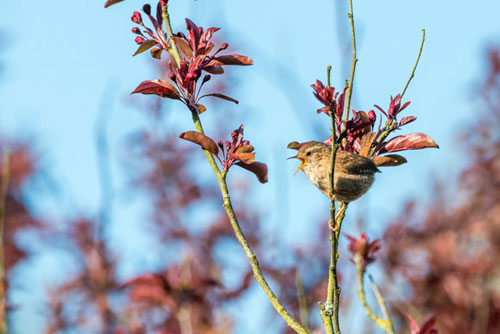 Singing wren perched on a branch.
