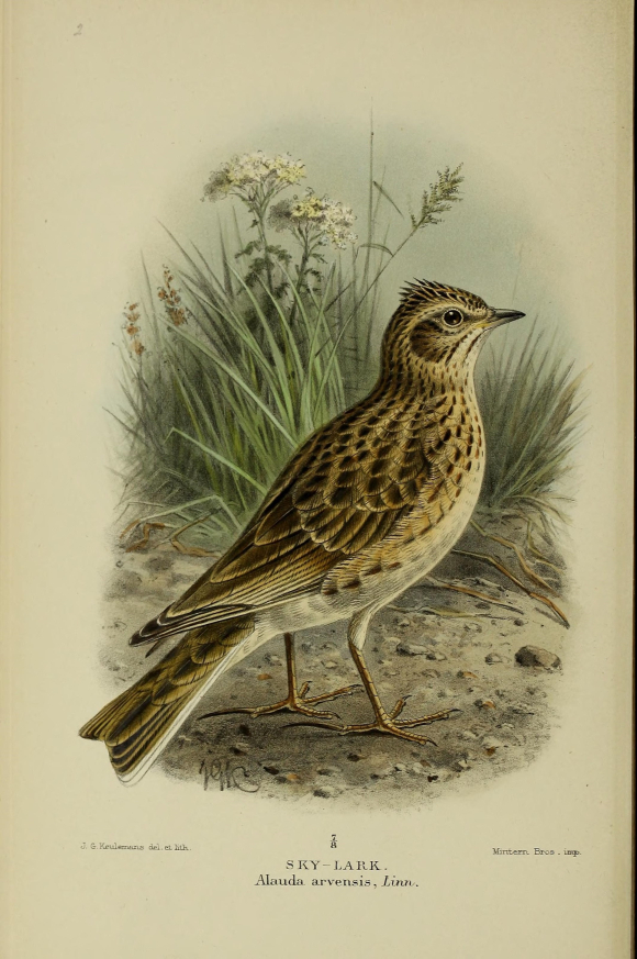19th Century Colour Illustration of the Eurasian Skylark