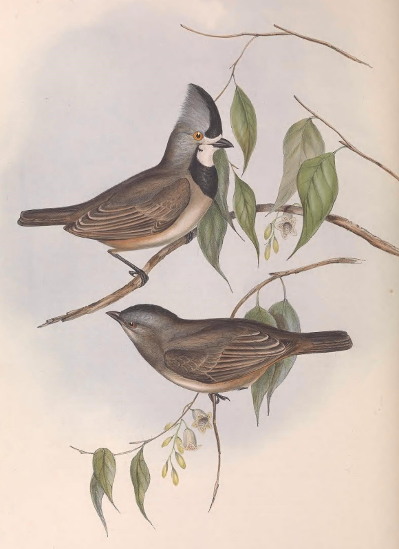 Colour illustration of a male and female Crested Bellbird