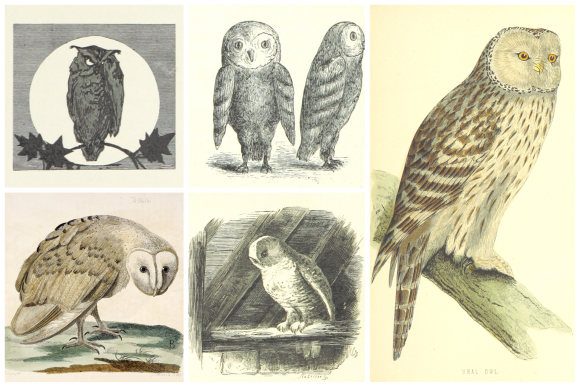 Selection of owl images from the British Library's Flickr account