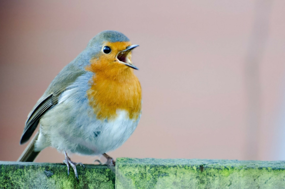 European Robin singing from a fence post
