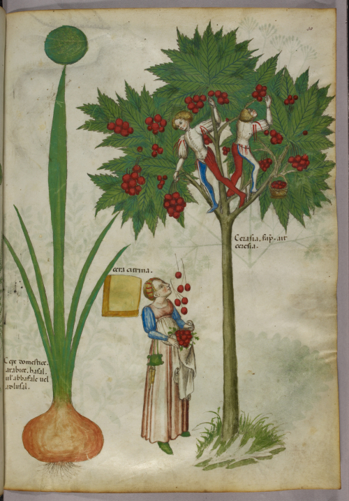 Medieval manuscript illumination of people harvesting cherries, with boys standing in the branches of the tree and throwing cherries down to a woman below