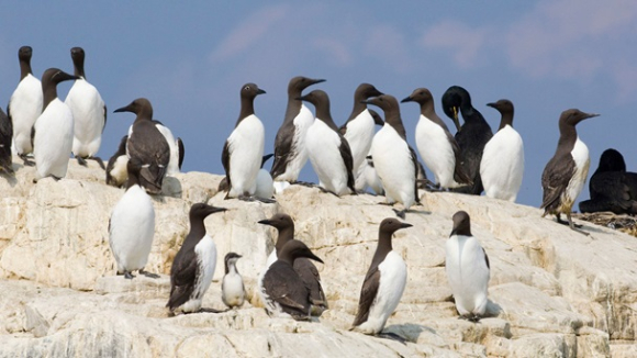 Guillemots at nesting colony