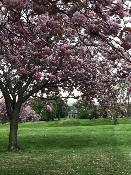 Edinburgh's blossom