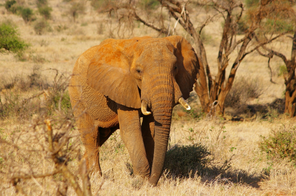African Elephant walking through dry grass