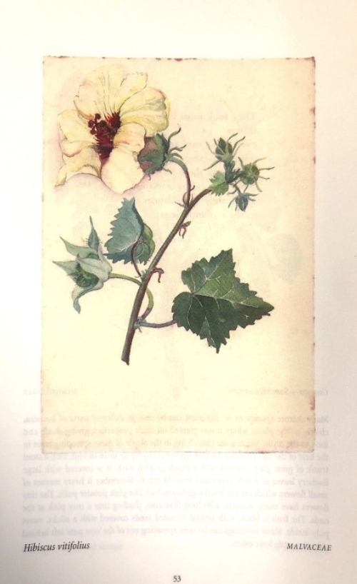 Drawing of a yellow hibiscus flower.