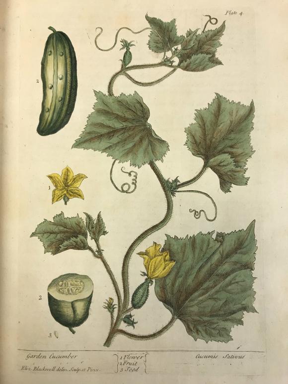 Garden Cucumber by Elizabeth Blackwell