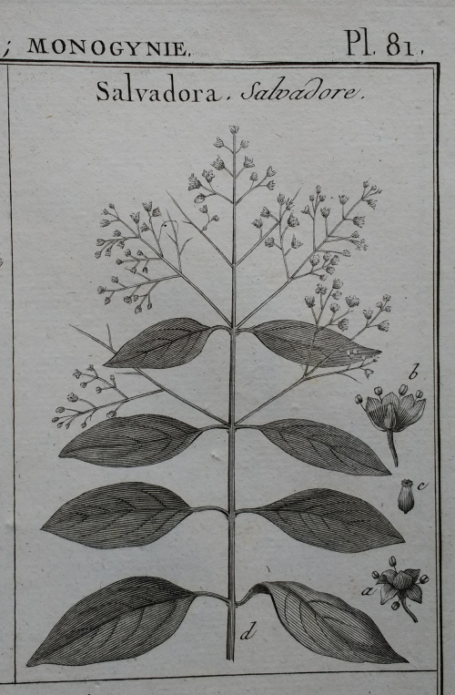 Salvadora, from Lamarck's 1823 collection of botanical illustrations