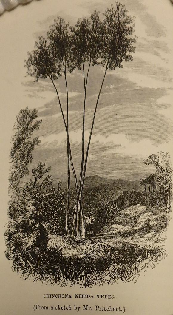 Black and white sketch of a clump of cinchona trees with a man wearing a hat standing beneath them