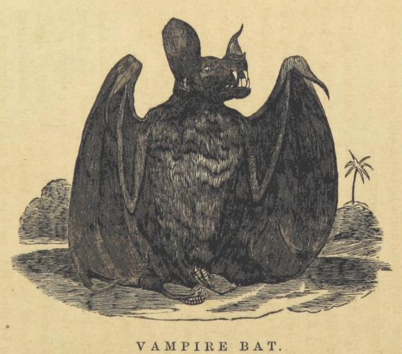 Illustration of a Vampire bat