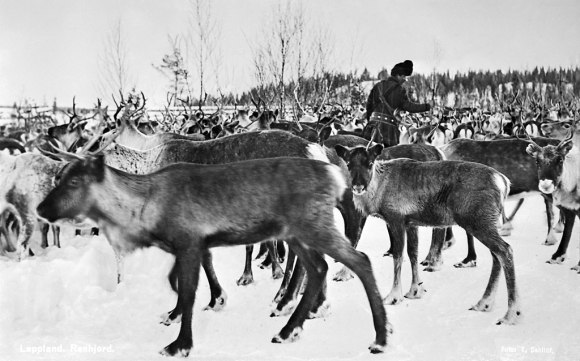 A herd of reindeer
