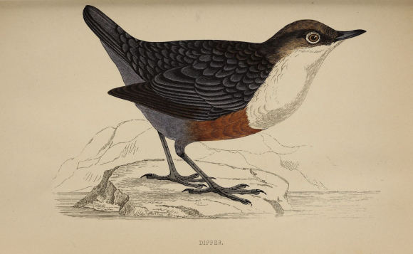 Colour illustration of a White-throated Dipper