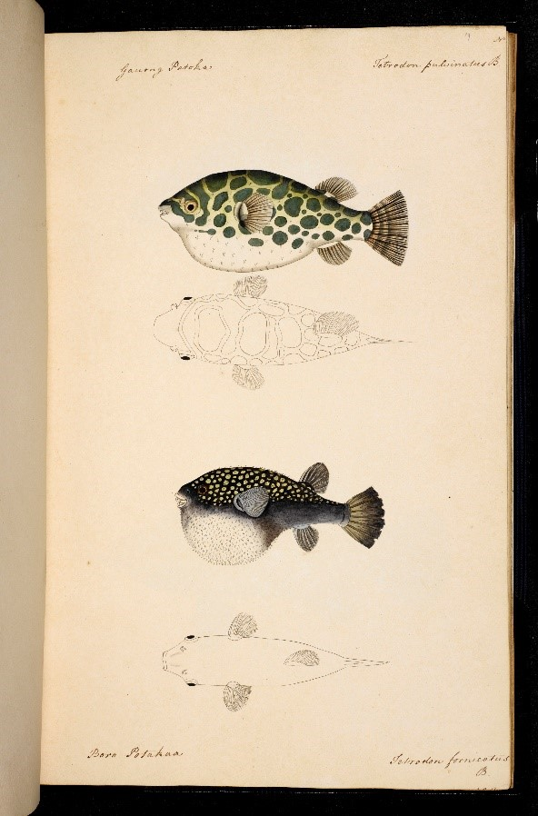 NHD36 72 ff in water-colour depicting Indian fishes1794 watermark