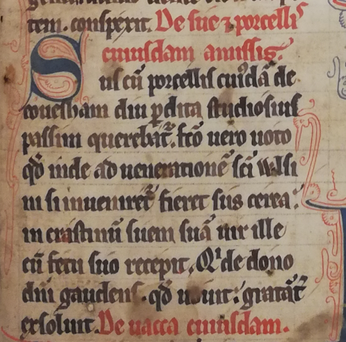 A text beginning with a large blue initial and written in black ink in which Wulfsige returns a sow with piglets ('Sus cum porcellis' in line 1) to a man of Evesham