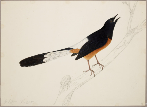 Painting of a Shama - black and white feathers with a light brown breast