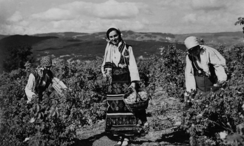 A black and white photograph of three women in traditional dress and head coverings, with the one in the middle looking at the camera and those on the left and right bent over. The middle woman is carrying a basket while the other two are engaged in picking items from bushes. They are against a background of rolling hills in a rural setting