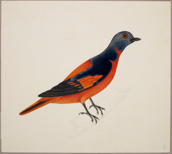 Painting of a Minivet - orange, black and grey feathers