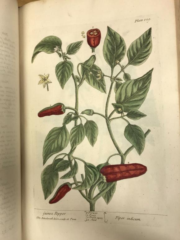 Guinea Pepper by Elizabeth Blackwell